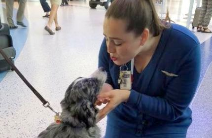 Irresistible, Sage with a flight attendant, working as a service dog.
